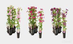 Product - Klimplanten