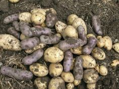 How To Plant , Grow, Harvest & Store Potatoes...he says to leave them in the ground until cool weather