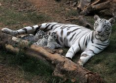 A white Bengal tiger feeds her cubs in an enclosure at Assam State Zoo in Guwahati. Photo: AFP/Getty Images