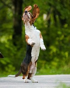 That's a basset happy dance if ever I saw one! Must have been a squirrel nearby!