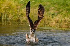 Osprey (Pandion Haliaetus) the ultimate fisher taking off!