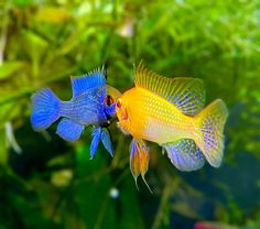 """AquaMom on Instagram: """"I love these guys colors, when they sparr. Which color ram do u love? Comment down below with 💙 💛 . . . . , , , , , #nanotank #aquarium…"""" Tropical Fish Aquarium, Tropical Freshwater Fish, Tropical Fish Tanks, Freshwater Aquarium Fish, Aquarium Fish Tank, Planted Aquarium, Pretty Fish, Beautiful Fish, Beautiful Boys"""