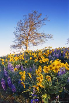 Image detail for -Blooming balsamroot and lupine flowers