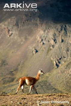 Guanaco in mountain habitat