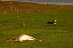 Village Dogs With Chital Kill, Nagarahole