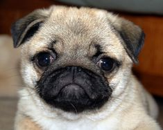 Pug Puppy Playtime-Too Cute! looks like the pug i love and miss so much .dora