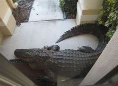 ... doorstep in Florida, doing its best to blend in with the garden decor