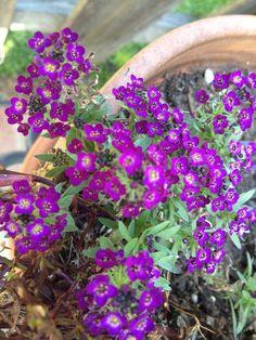 Purple Allysum