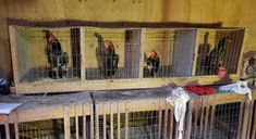 O GRITO DO BICHO 3: STF impede abate de galos que seriam usados em rin... Painting, Roosters, Wild Animals, Paint, Draw