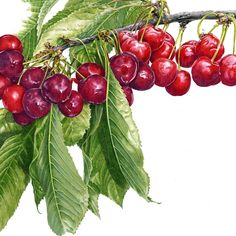 http://www.soc-botanical-artists.org/artist/janie-pirie/