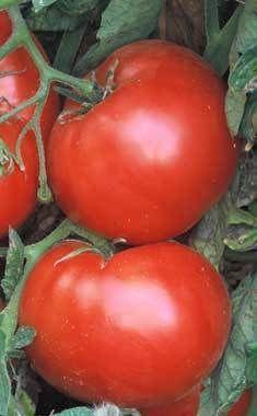 These look soooo good !  Tomato 'Brandywine'