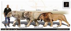 Size comparison of the American Lion (left),