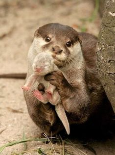 Mom and baby otter, look how proud she is of her lil baby i love otters almost as much as manatees and owls! Cute Funny Animals, Cute Baby Animals, Animals And Pets, Animal Babies, Baby Wild Animals, Small Animals, Animals Images, Nature Animals, Mother And Baby Animals
