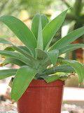 Agave Attenuata Succulent Plant
