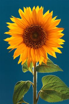 Sunflower-- pretty girl :) #Sunflower