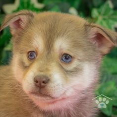 ADOPTED - Hi, my name is Athena. I am as sweet as I look. I love to play with people of all ages and my siblings. The only thing I love more than play time is nap time. Pomsky Breeders, Pomsky Puppies For Sale, Puppy Breeds, Friends Forever, Siblings, Adoption, Play, Sweet, People