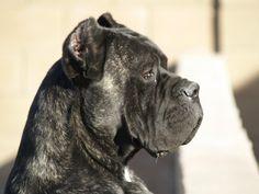 MillReef Cane Corso - Our dog Spartaco