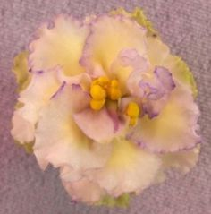 Laceys Determination - The Violet Barn - African Violets and More