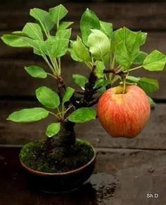 An apple tree bonsai! See more awesome bonsai trees Bonsai Garden, Garden Plants, Indoor Plants, Fruit Garden, Plantas Bonsai, Fruit Trees, Trees To Plant, Pear Trees, Bonsai Apple Tree