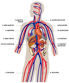 19613 additionally Circulatory System in addition 220 furthermore Watch furthermore Human Excretory System Diagram Labeled. on simple diagram of circulatory system