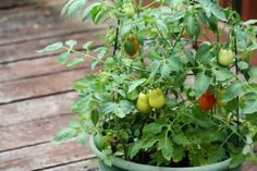 Tomater trenger støtte enten de vokser i potte eller på friland. Foto: Danielle Scott på Flickr