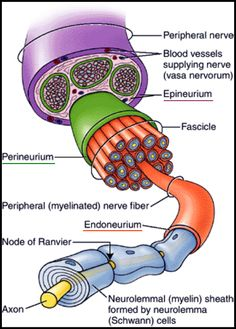 (2) What are the differences between a neuron, a nerve fibre, a nerve, and a nerve tissue? - Quora