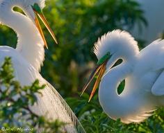 The Florida Everglades | Serafini Amelia| Egrets beautiful birds
