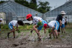 JAPON : UTILISER LES MODES DE CULTURE DU RIZ POUR OPTIMISER LA PROTECTION DE L'ENVIRONNEMENT - Dans la région de Tohoku au Nord du Japon, Chiba Tomio, agriculteur, ouvre les portes de ses rizières aux écoles. Il s'agit du programme « ESD Rice Project », une initiative de coopération régionale qui utilise l'exemple de la culture du riz pour promouvoir l'éducation au développement durable...