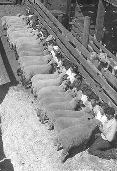 """""""Baaaaaa!"""" -- a 4-H lamb project."""
