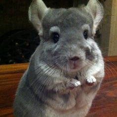 The cutest little chimichanga chinchilla..! -Just for Nathan (he wants a chinchilla named Chimichanga)