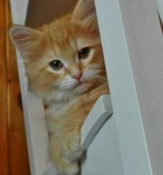Duncan is an adopted Domestic Long Hair Cat in Wyoming, MN. Name: Duncan Age:  6 weeks at date of arrival (5/25/2013) Breed:  DLH - Orange Tabby How I Arrived At NHS:  My siblings and I were surrender...