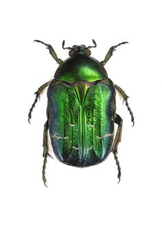 Cetonia Aurata Green Beetle Print: Goran Liljeberg has been photographing beetles, bugs and butterflies for many years. The insects used are mostly borrowed from museums and entomology collections. These stunning photographs will look good anywhere bringing nature and all its beauty indoors.