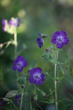 Buy dusky cranesbill Geranium phaeum 'Lily Lovell': Delivery by Crocus.co.uk