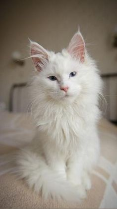 Pretty Cats, Beautiful Cats, Animals Beautiful, Pretty Kitty, Animals Amazing, Simply Beautiful, Absolutely Gorgeous, Animals And Pets, Funny Animals