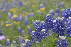 Texas Bluebonnets.  All rights reserved ©DurhamPhotography
