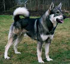 The Swedish Elkhound was bred in ancient Sweden for hunting large mammals.  It is today Sweden's national dog and is increasingly popular.  It adapts well to urban environments as well as cold weather, and trains easily, but does require frequent grooming and exercise.