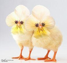 Pansy Chicks - Worth1000 Contests
