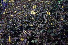 RHS Plant Selector Lysimachia ciliata 'Firecracker' AGM / RHS Gardening flowers Jul-Aug