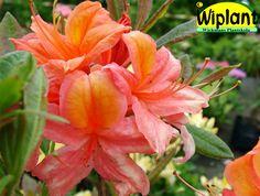 Rhododendron Ghent-gruppen 'Aamurusko', Azalea. Höjd: 1-1,2 m. Zon III.