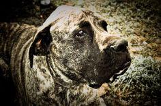 Bull Mastiff Dog Monochromatic by ThisJustInPhotos on Etsy, $20.00