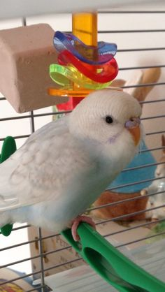 Highest Rated Cute Budgie Pictures