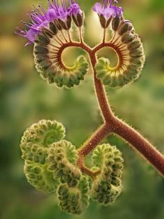 Phacelia plant begins to bloom in Death Valley. Oils in the plant can . - Phacelia plant begins to bloom in Death Valley. Oils in the plant can … Phacelia plant begins to - Unusual Flowers, Unusual Plants, Rare Flowers, Exotic Plants, Cool Plants, Amazing Flowers, Pretty Flowers, Weird Plants, Purple Flowers