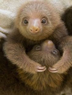 Sorry about blowing up your feed with sloths but..... Look at them!!!!!!!!!
