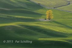 Lone tree on the Palouse. © 2015 Pat Schilling
