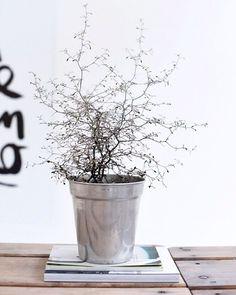 Corokia Cotoneaster oder Zickzackbaum