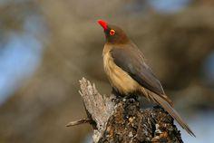 Red billed oxpecker  (Buphagus erythorhynchus)