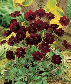 Cosmos, Choca Mocha.Low-maintenance plant that can stand drought and heat.