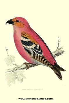 Crossbill vintage Bird Print hand painted