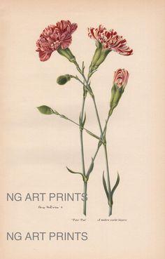 botanical prints carnation