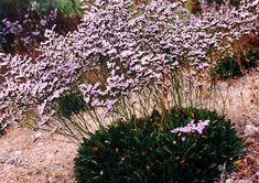 Limonium californicum. Interesting info about two seeming varieties, growing wild in Newport Beach?